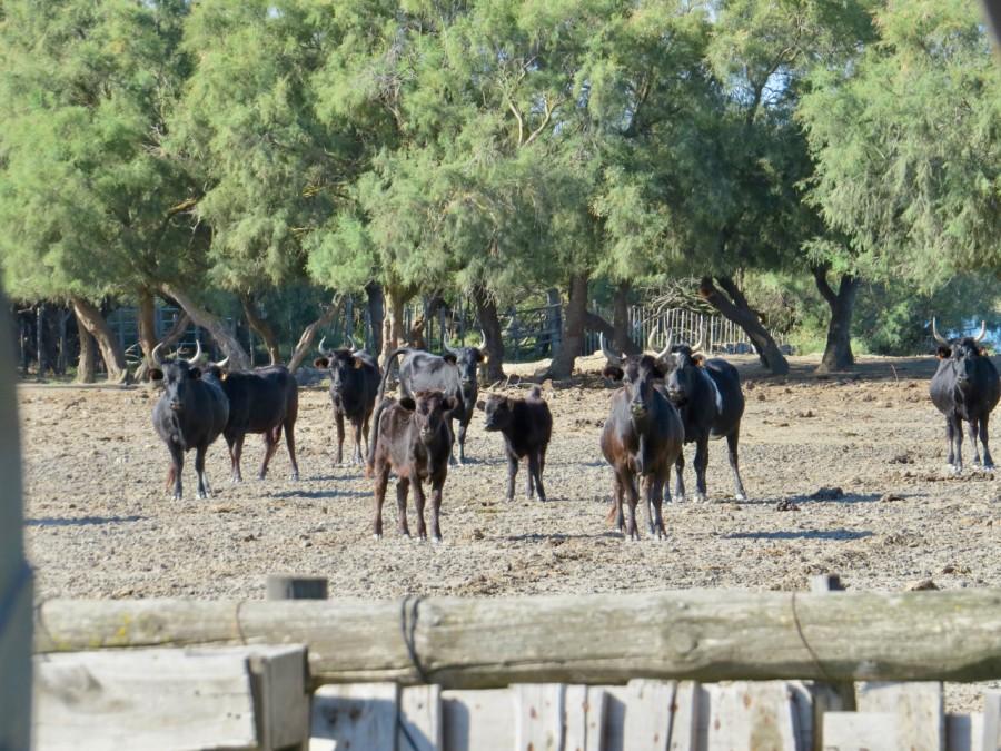 les fameux taureaux camarguais